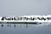 A colony of penguins on a flat iceberg surrounded by calm waters