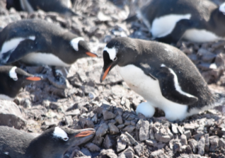 Momma Penguin protects her egg as other envious mommas look on