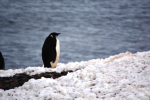 An Emperor Penguin sits on the beach (just longing for a mate)