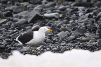 This Kelp Gull was just hanging out with all the Penguins