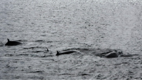 As we sail, we encountered this pod of whales