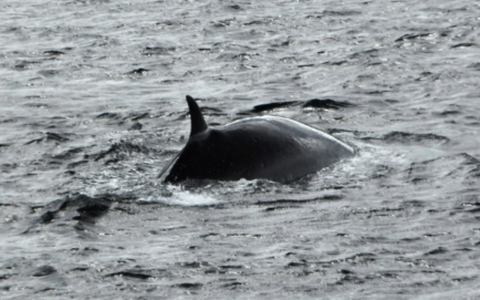 And the last whale tail disappears into the water