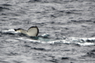 The sighting of our first Whale Tail on the voyage