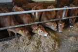 Cows are a great part of the cheese-making process. (Have you ever wondered how that hay becomes cheese?)
