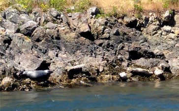 Seals along the shore in Deception Pass